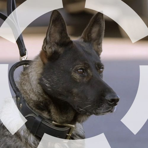 canine, security, gms